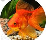 Gold fish babies for sale about half inch to 1