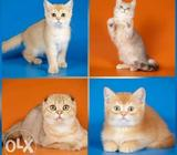 Orange Tabby Kitten Collage