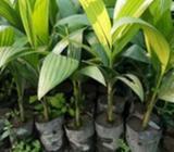 Tamul Plant