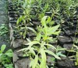 White Chandan Plant